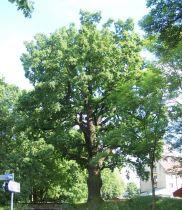 """Dąb """"Konrad"""" ma szansę zostać Drzewem Roku"""